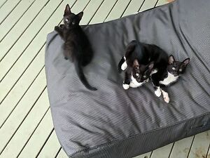 Free 10 week old kittens Barden Ridge Sutherland Area Preview
