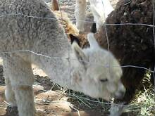 Alpaca - female 9 months old Wild Horse Plains Mallala Area Preview
