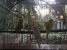 Budgies Grafton Clarence Valley Preview