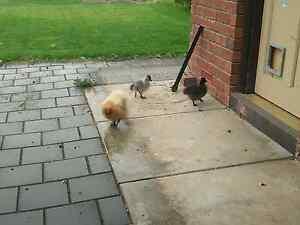 Silkie chicks x2 Lyndoch Barossa Area Preview
