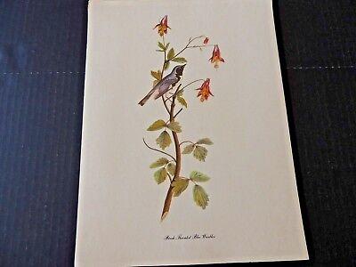 John James Audubon, Black Throated Blue Warbler Vintage Bird Art Print EC