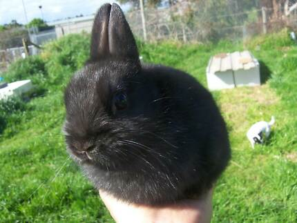 Purebred Black Netherland Dwarf Buck For Sale. Bayswater Knox Area Preview