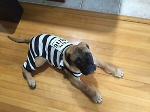 Halloween costume for dog prisoner