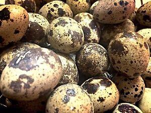 Coturnix Quail Fertile Eggs Heathfield Adelaide Hills Preview
