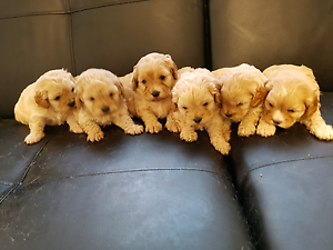 First Generation Cavoodles Alexandria Inner Sydney Preview
