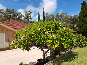 Frangipani Tree Corlette Port Stephens Area Preview