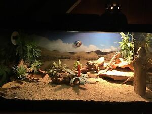 Bearded dragons and tank for sale