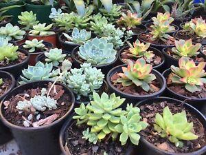 Succulents $4ea