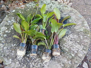 lot de 5 pots d echinodorus rare plante aquarium promo ebay. Black Bedroom Furniture Sets. Home Design Ideas