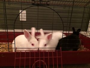 PRICE DROP - 3 cute rabbits for sale