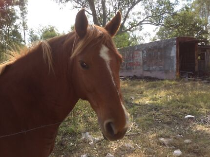 6 year old mare for sale