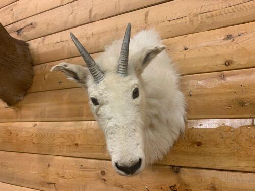 Shoulder Mount Alaskan Mountain Goat Bighorn Sheep Real Horn Taxidermy DS5