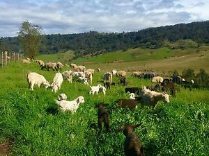 Young pet Cashmere goats Picton Wollondilly Area Preview