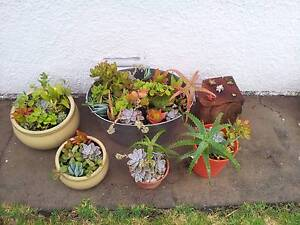 gorgeous succulents planters from Narraweena Manly Area Preview