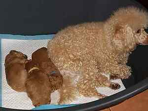 Toy Poodles 2 Males Available Werombi Wollondilly Area Preview