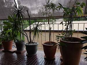 Pot plants - established - $30 each or $300 for the lot. Auchenflower Brisbane North West Preview