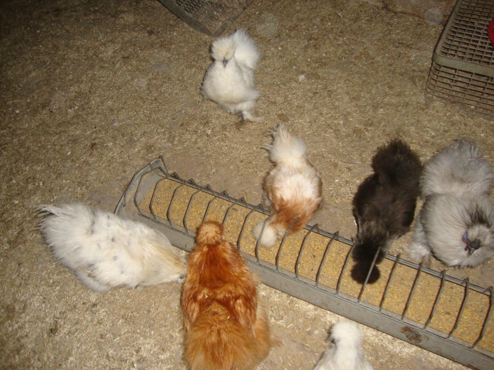 Bunte Truppe Zwerg Seidenhühner Eier keine Bruteier 10 Stück
