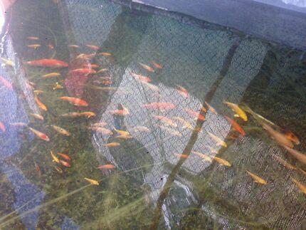 Koi fish sale