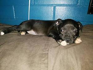 STAFFY FEMALE Caboolture Caboolture Area Preview