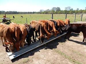 Calves for Sale Caboolture Caboolture Area Preview