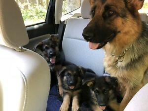 Imported German Shepherd Puppies from Serbia