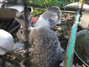 new zealand rabbits | Rabbits | Gumtree Australia Free Local Classifieds