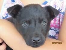 Black Female Kelpie Puppy Midland Swan Area Preview