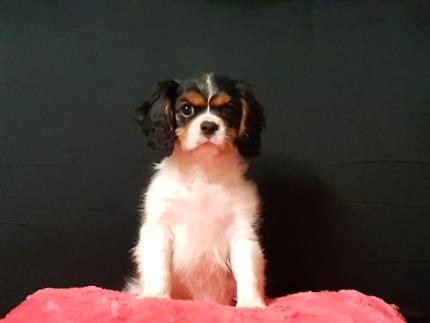 King charles cavalier pups Pedigree litter
