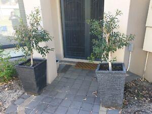 Two large ficus plants black garden pots