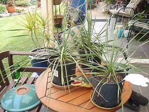 YUCCA SAPPHIRE SKIES $10 each Casula Liverpool Area Preview