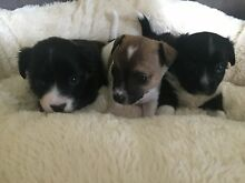 Mini foxie cross chihuahua puppies available Broadbeach Waters Gold Coast City Preview
