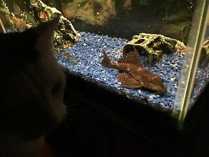 Large Pleco (suckermouth catfish) - 7 years old