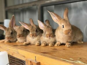 9 Weeks Old Purebred Flemish giant bunnies male and female.