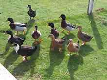 3 Ducks for sale Beaconsfield West Tamar Preview