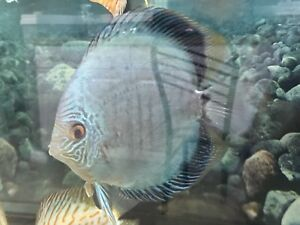 Discus blue snake