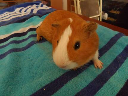 RESCUE RABBITS AND GUINEA PIGS FOR ADOPTION FROM GRRR SHELTER Para Hills Salisbury Area Preview