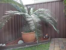 CYCAD PLANT/PONY TAILS/DRACEANAS Yagoona Bankstown Area Preview