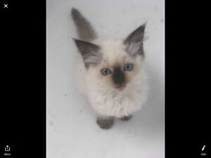 Beautiful pure bred ragdoll kittens for sale