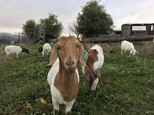 Goats for sale Emerald Cardinia Area Preview