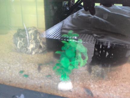 Baby bronze  corydoras catfish  for sale $2.00 each