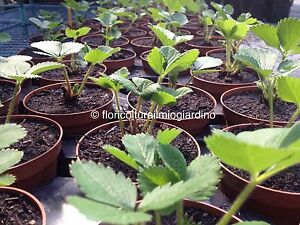 Piante di fragola mara de bois la pi buona fragola al for Piante fragola vendita