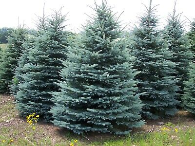 Colorado Blue Spruce Tree - Evergreen Conifer Rooted - 3 Plants in 2.5