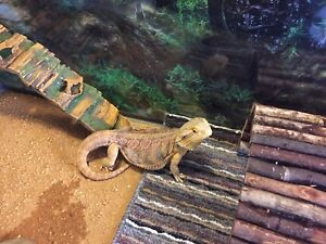 4 year old bearded dragon for sale
