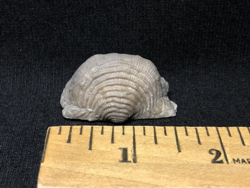 Fossils-Killer Prep Waldron Shale Uncommon Brachiopod-Trilobite Crinoid