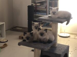 Ragdolls - Pure Bred - Kittens - Looking for forever homes