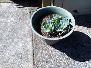 Echeveria - succulents Devonport Devonport Area Preview