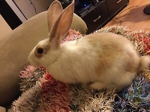 Baby bunny for sale! *cobourg, cheap, loveable*
