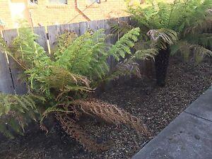 Fern trees Brighton Brighton Area Preview