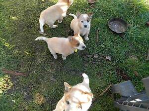 red heeler pups Pipers River George Town Area Preview