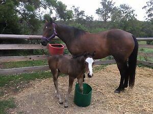 Quarter horse brood mare Kalaru Bega Valley Preview